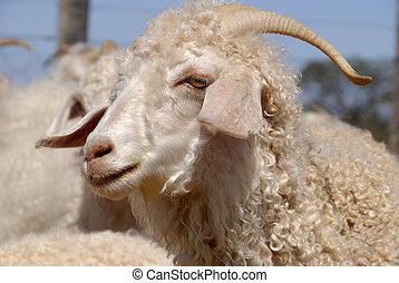 Adult Angora goat - Close-up of an adult Angora goat.
