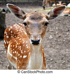 White tail young fawn with large ears, square image,...