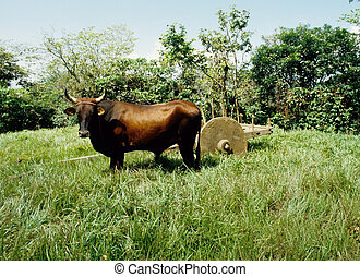 Ox cart - Ox standing in a grassy field in front of a...