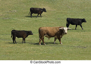 Livestock - Bull and cows in a pasture