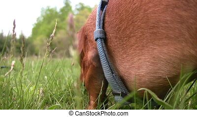 Side view of miniature dachshund do - A closeup shot along...