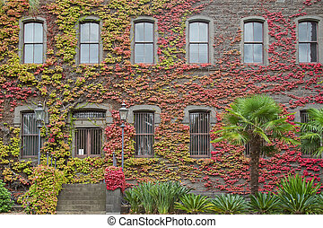 Ivy red leaves on the wall - Climbing plant, Ivy red leaves...