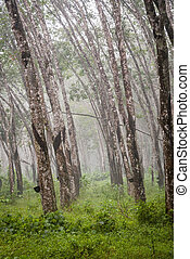 Rubber trees plantation - View on caoutchouc tree forest...