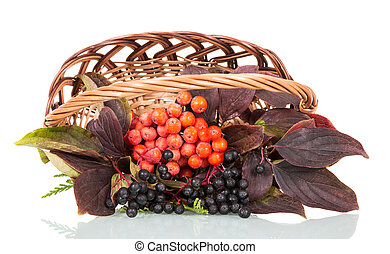 Basket with berries  mountain ash and elderberry isolated on white.