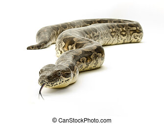 Snake on White - Boa constrictor snake on a white background