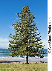 Norfolk, isla, pino, árbol, Crecer, en, el, costa,...