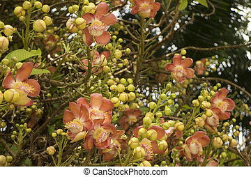 Cannon ball tree with flowers, Couroupita guianensis