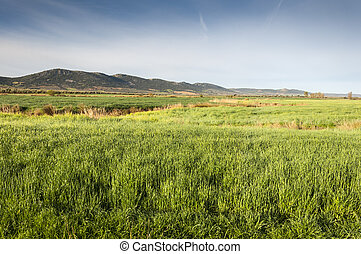Barley fields in an agricultural landscape in La Mancha,...