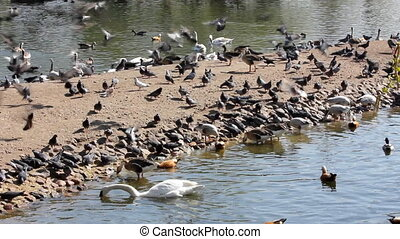 birds feeding - many birds feeding in pond