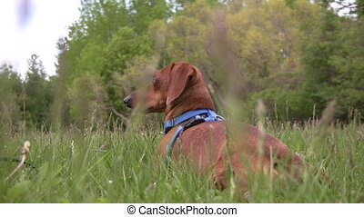 Alert miniature dachshund dog lying - Zooming in on a...