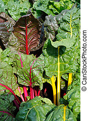 Swiss chard - Close up of growing swiss chard