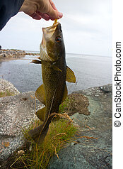 cod on fishing-rod on background of sea - cod on background...