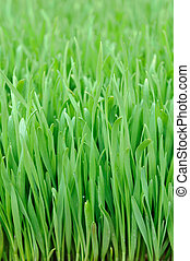 Wheat grass - Close up of wheat grass background