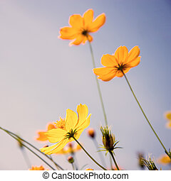 Cosmos flowers and sky filtered used