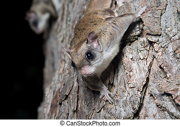 Flying squirrel on a tree - A flying squirrel clings to the...