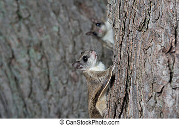 Fkying squirrel on a tree - A flying squirrel clings to the...