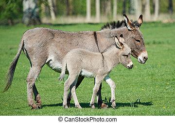 Donkey (Equus africanus asinus) - Donkey mum and her little...