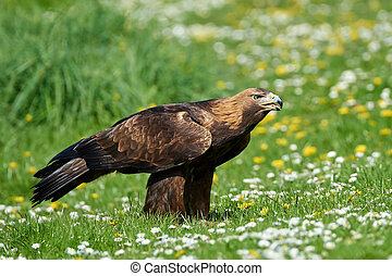 Golden eagle (Aquila chrysaetos) - Golden eagle standing in...