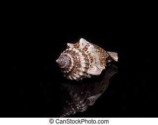 Helical conical seashell - Helical conical shell with an...