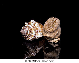 Helical conical seashell - Helical conical shell sample is...