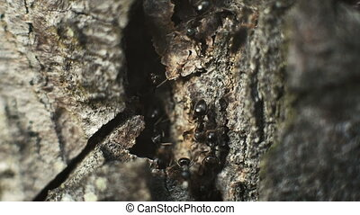 Ants on Tree Bark in Forest - Ants on Tree Bark in Forest