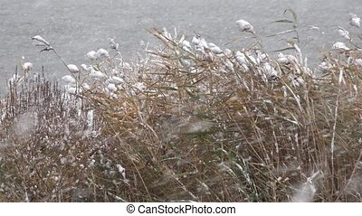 Snowstorm Covering Reeds of Grass