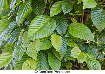 common hornbeam - carpinus betulus - Common hornbeam is...