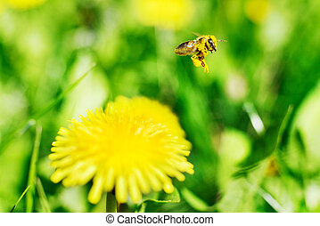 Honeybee and yellow flowers. - Honeybee and yellow flowers...