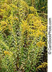 Solidago virgaurea L flower background