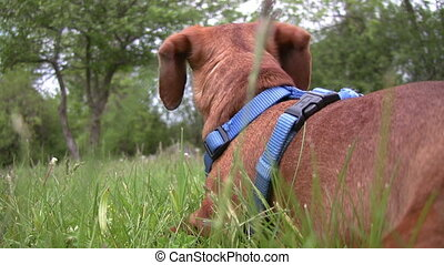 Miniature Dachshund lying down and