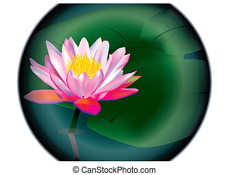 lily - water lily
