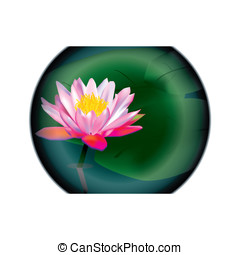 lilly - water lilly