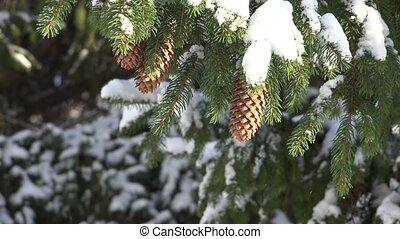 Fir Tree and Pine Cones in Winter