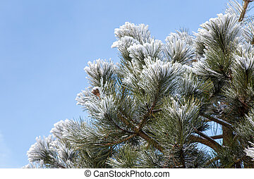 Winter frost on pine, Christmas tree