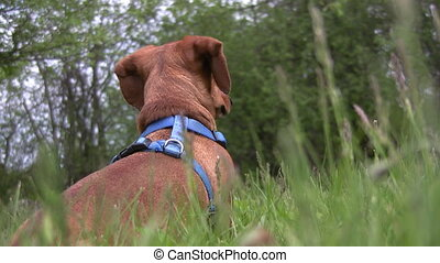 Miniature Dachshund on the lookout - A miniature Dachshund...