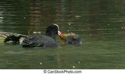 Coot young (Fulica atra) being fed on a log by diving adult.
