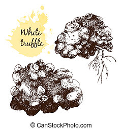 White truffles group isolated on white Hand drawn graphic...