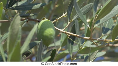Picking Off Olives from the Tree - Closeup shot of an olive...