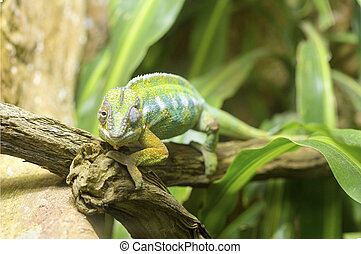 Panther chameleon on a branch - A panther chameleon,...