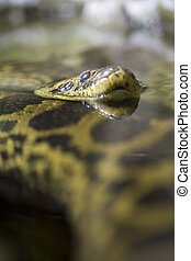 Yellow anaconda resting in the water - A yellow anaconda or...