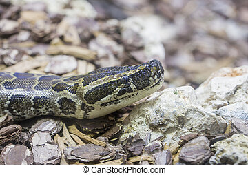 Head of an African rock python - Closeup view of the head of...
