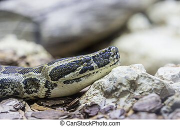 Closeup of an African rock python - Detail of the head of an...