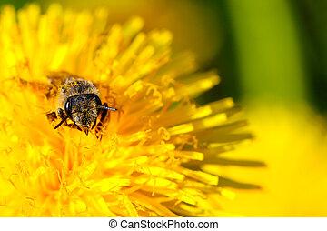 bee in a dandelion flower - bee in a flower
