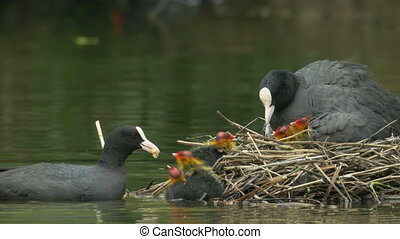 Coot adults (Fulica atra) feeding young in the nest