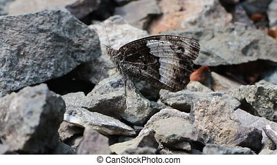 Grey butterfly Satyr against gray stones. Color harmony -...
