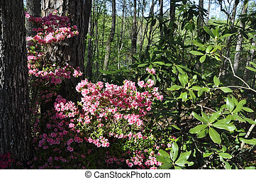 Azalea Gen; Rhododendron - Blooming colourfully here in a...