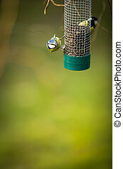 Tiny Blue tit on a feeder in a garden, hungry during winter...