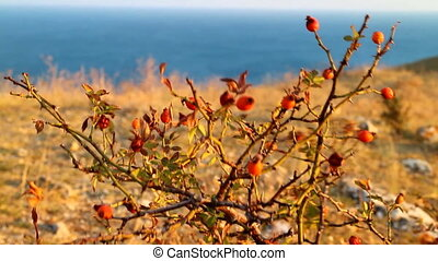 Autumn steppe, blue sea, yellow grass and wild rose with red...