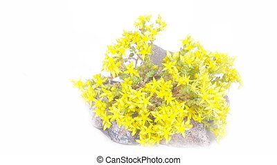 Typical element of rock garden. Succulent (golden blossom)...