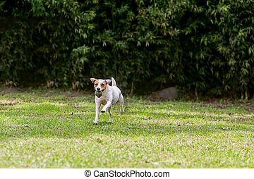 Adorable Funny Dog Jack Russell Terrier Running With His...